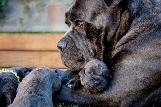 20 უზარმაზარი ძაღლი და მათი პატარა ასლები (+ფოტო)