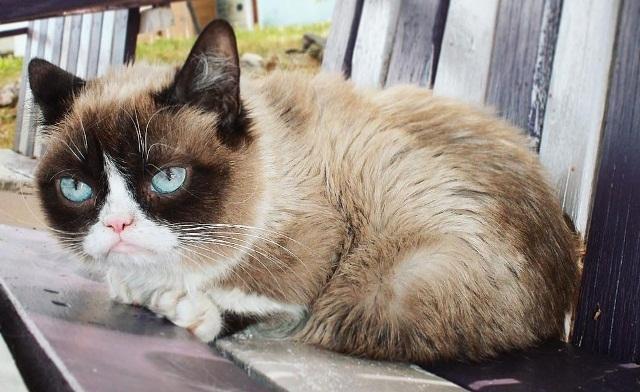 ბევრისთვის საყვარელი კატა Grumpy cat-ი 7 წლის ასაკში მოკვდა