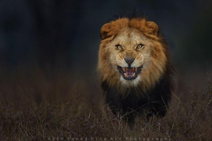 უნიკალური კადრები - ფოტოგრაფმა გააფთრებული ლომი თავდასხმამდე წამით ადრე გადაიღო