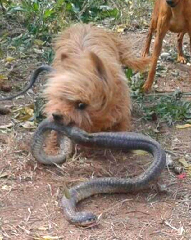 ერთი ციდა ძაღლი კობრას თავს დაესხა - მან  პატრონისთვის საკუთარი სიცოცხლე გაწირა