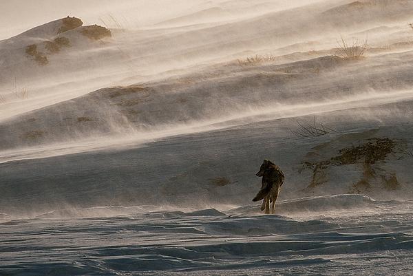 """დღის ფოტო: """"მარტოხელა მგელი"""""""