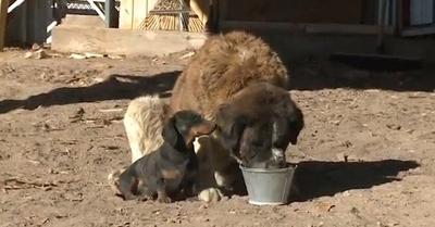 ტაქსა მაშველებს სენრბერნარის გადარჩენაში დაეხმარა (+ვიდეო)