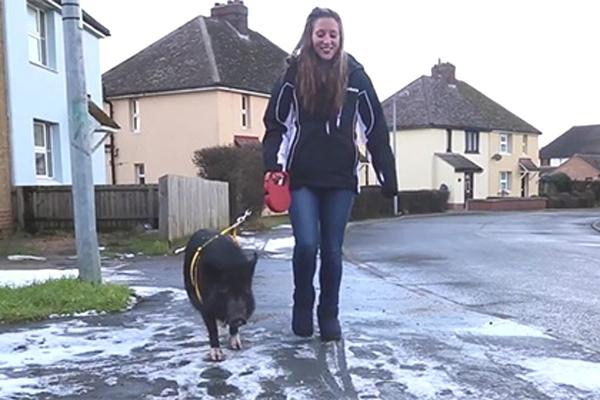 სასაკლაოდან გამოქცეულ ღორს თავი ძაღლი ჰგონია (+ვიდეო)
