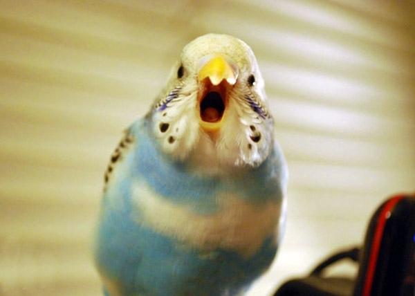 პირველი სიტყვა _ როგორ ვასწავლოთ ტალღოვან თუთიყუშს ლაპარაკი?