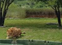 ძუ ლომმა ტურისტებზე თავდასხმა სცადა, თუმცა, მან  ნახტომის მანძილი ვერ გათვალა (+ვიდეო)