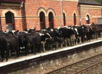 ბრიტანეთში ძროხებმა მატარებელი შეაჩერეს