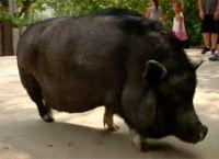 ფლორიდაში ღორი-პოლიგლოტი გამოზარდეს