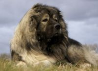 ძაღლის 8 ჯიში, რომლებიც საუკეთესო მცველები არიან