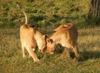 ახალგაზრდა ძუ ლომებმა მოიპარეს კამერა და საკუთარ თავზე ფილმი გადაიღეს (+ვიდეო)