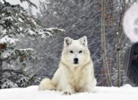 ის სამკურნალო მცენარის საძებნელად ტყეში წავიდა და დაიკარგა... იდუმალმა თეთრმა ძაღლმა მისი სიცოცხლე გადაარჩინა და  გაუჩინარდა