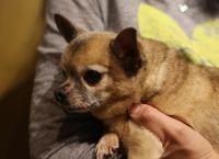 როგორ დავიჭიროთ ხელში პატარა ზომის ძაღლი, რომ ხერხემლისა და კუნთის ტრავმა არ მიიღოს?
