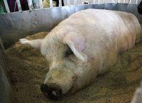 წარმოუდგენელი წონა - ღორი 700 კილოს იწონის (+ვიდეო)