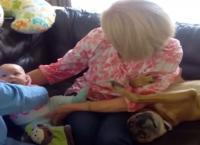 რას აკეთებს ეჭვიანი ძაღლი, როდესაც ბებია ბავშვის ხელში აყვანას ცდილობს (+ვიდეო)