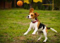10 ყველაზე რთულად გასაწვრთნელი და ჯიუტი ძაღლის ჯიში