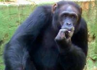 ზოოპარკში შიმპანზემ უეცრად... სიგარეტს მოუკიდა (+ვიდეო)