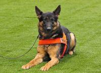 ძაღლის 6 ჯიში განსაკუთრებული ყნოსვის უნარით
