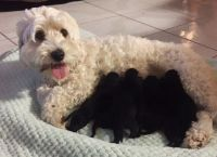 თეთრი შეფერილობის ძაღლებს შავი ლეკვები გაუჩნდათ