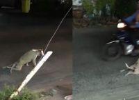 თითქოს ამ ძაღლს გადაადგილება უჭირს, მაგრამ დააკვირდით რას აკეთებს შემდეგ...(+ვიდეო)