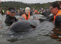 ახალი ზელანდიის ნაპირებთან გამორიყული შავი დელფინები მოქცევამ გადაარჩინა