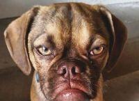 ძაღლი, რომელსაც ყოველთვის უკმაყოფილო სახე აქვს, ინტერნეტის ვარსკვლავი გახდა