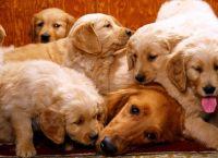 როგორ უნდა გავუფრთხილდეთ ძაღლს გამრავლების პერიოდში