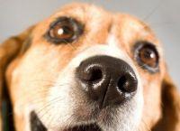 თუ ძაღლს სველი ცხვირი აქვს, ის ჯანმრთელია - მითი თუ სინამდვილე?