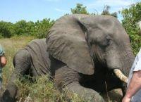 რამდენი საათის განმავლობაში სძინავს სპილოს