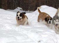 ძაღლის 6 ჯიში, რომლებსაც თოვლი განსაკუთრებით უყვართ