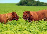 ცნობენ თუ არა ძაღლები ერთმანეთს გარეგნობით?