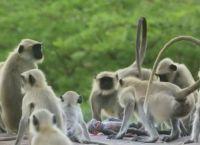 საოცარი კადრები - მაიმუნებმა სათამაშო მაიმუნი გამოიგლოვეს (+ვიდეო)